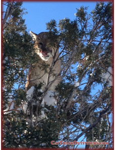 Colorado guided mountain lion hunting in CO